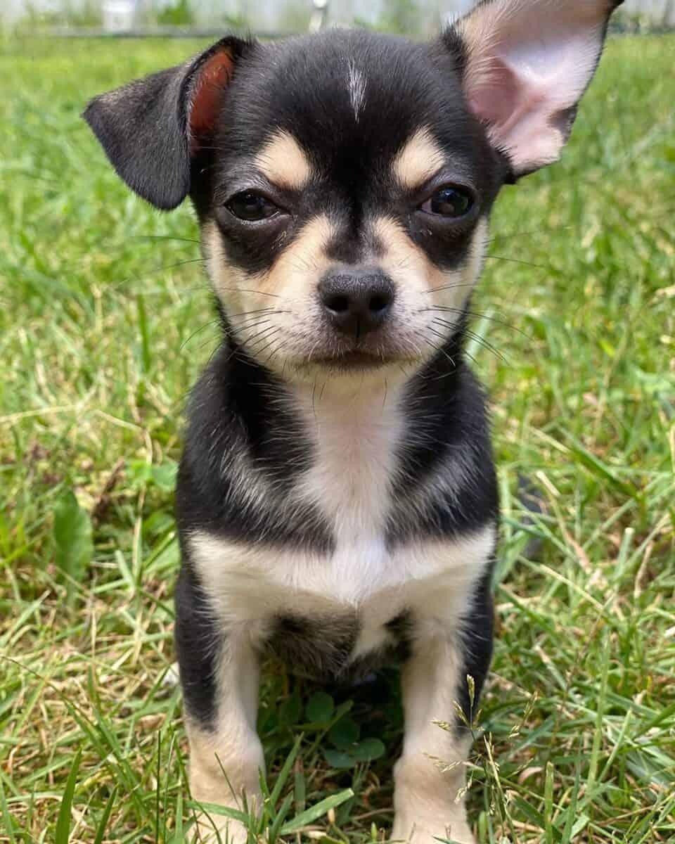 Black and tan teacup Chihuahua