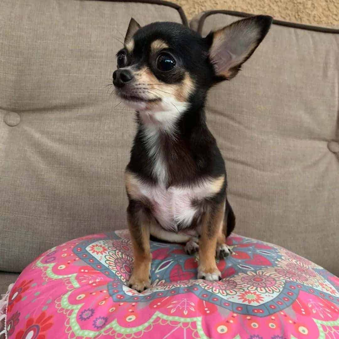 Black and tan with white teacup Chihuahua