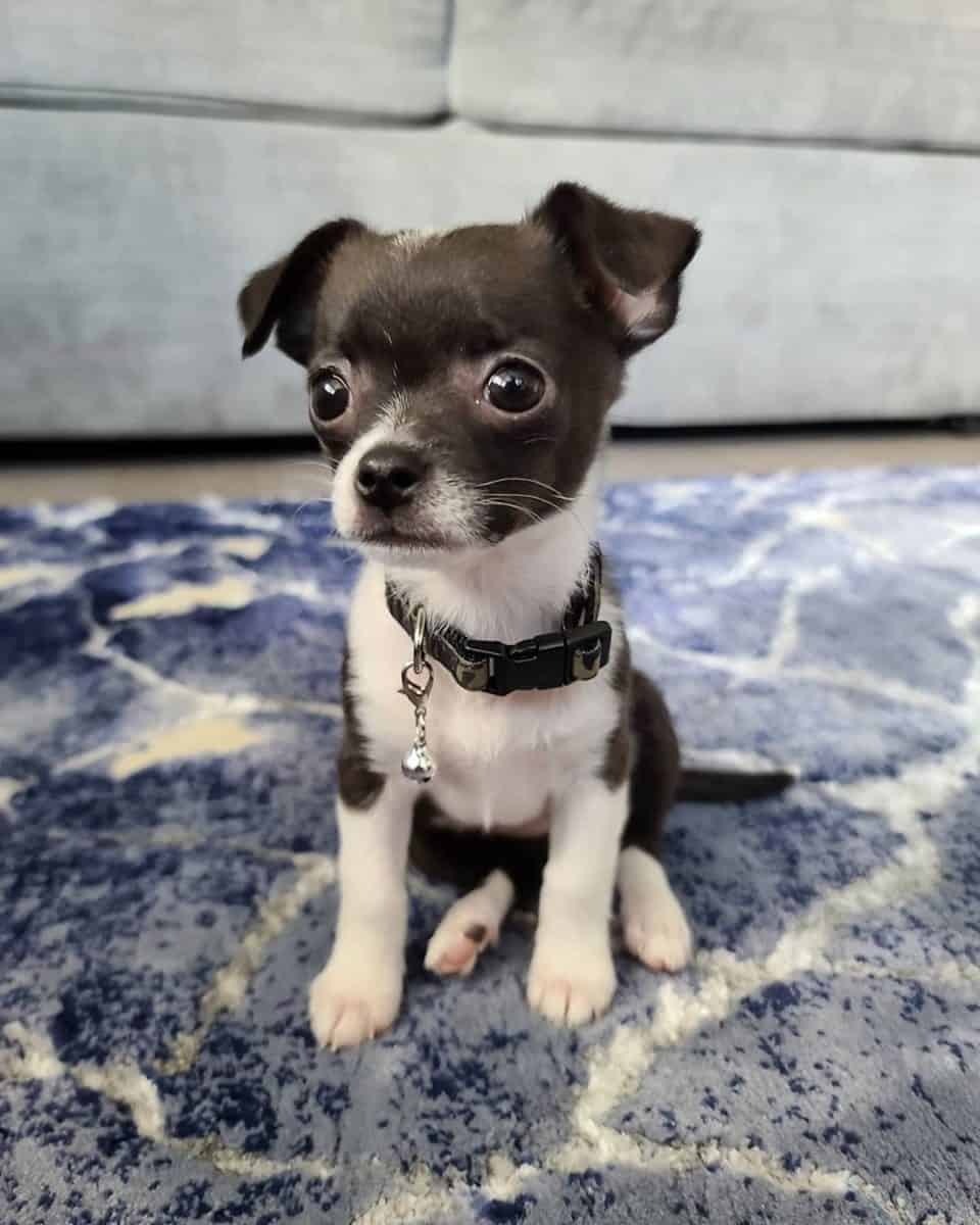 Black and white teacup Chihuahua
