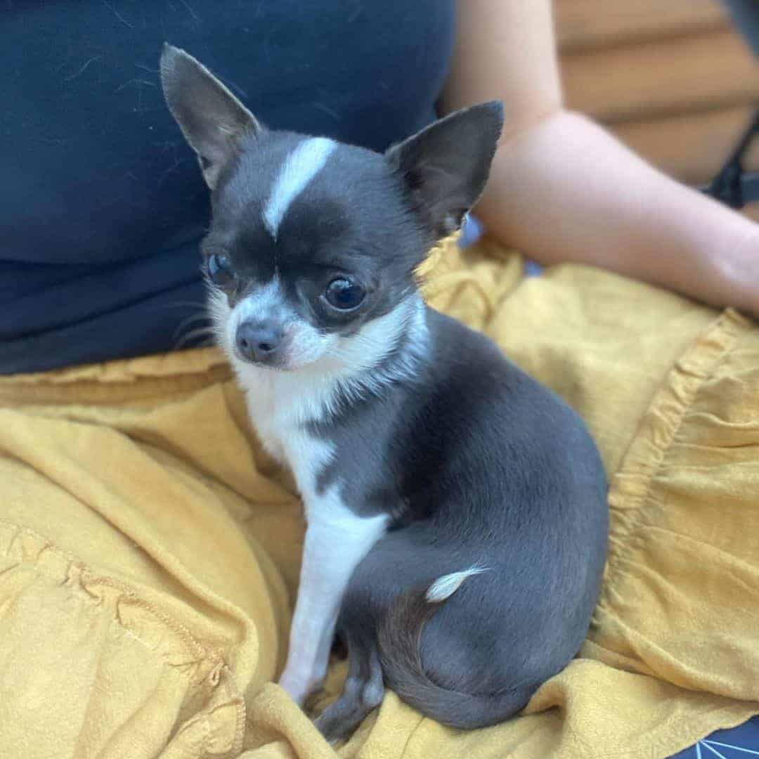 Blue and white teacup Chihuahua