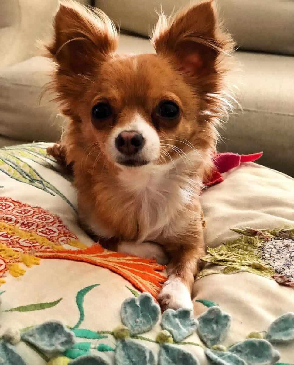 Chocolate and white teacup Chihuahua