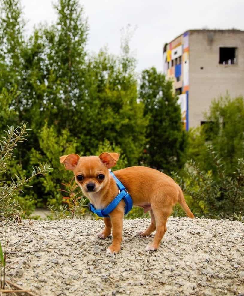 Fawn teacup Chihuahua