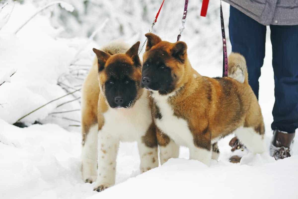 Male and female Akita puppies posing on snow in winter forest.