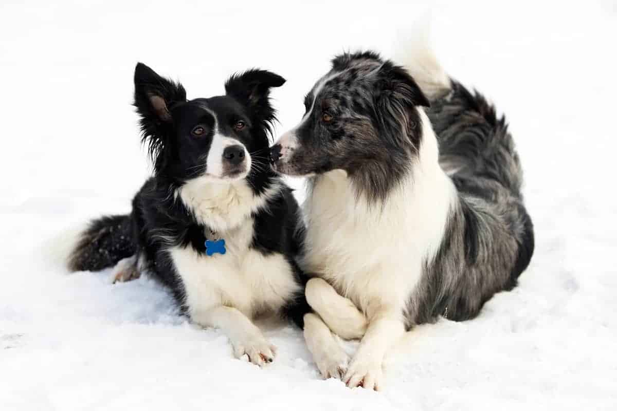 Male and female Border Collie lying on snow