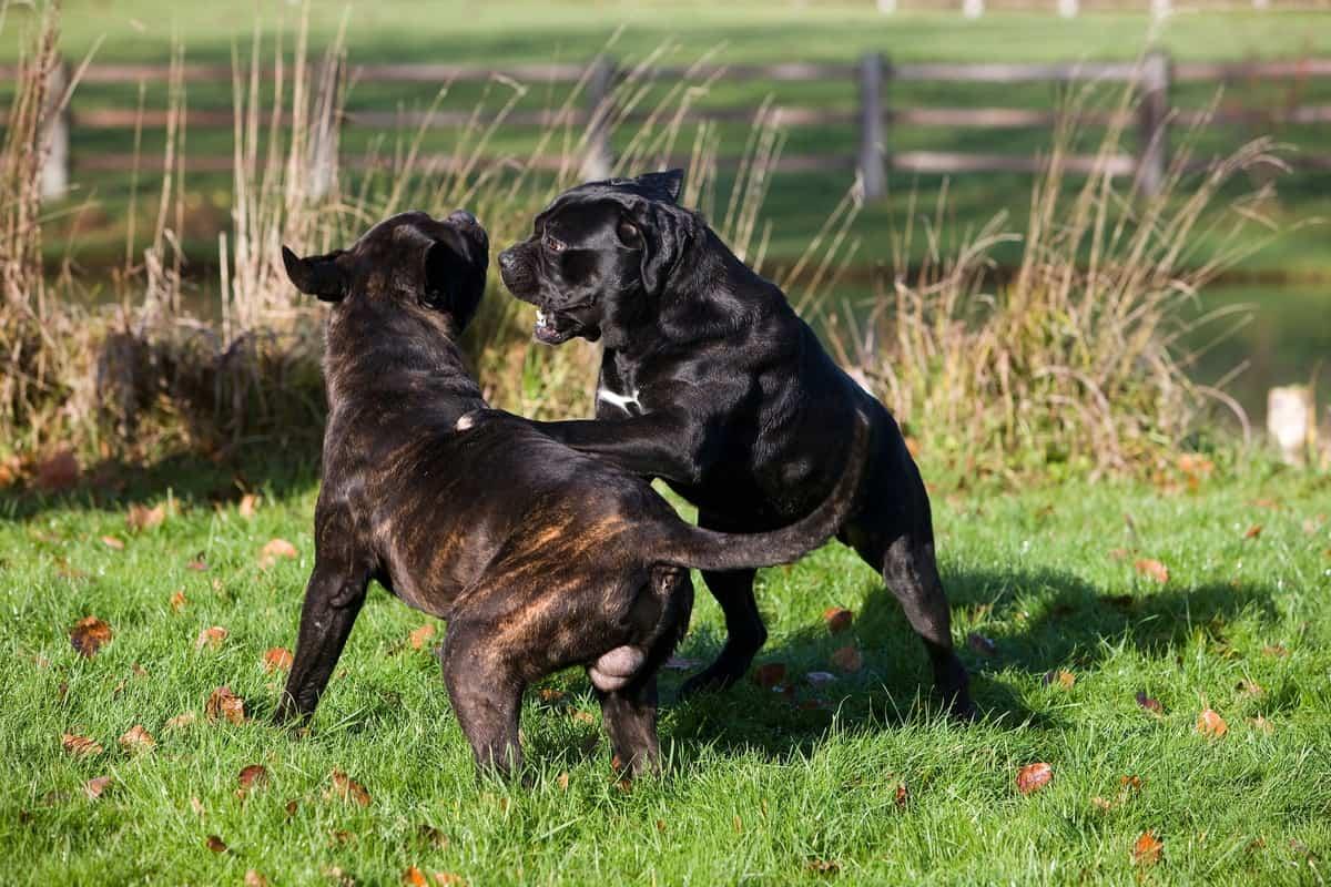 Male and female Cane Corso guard dogs