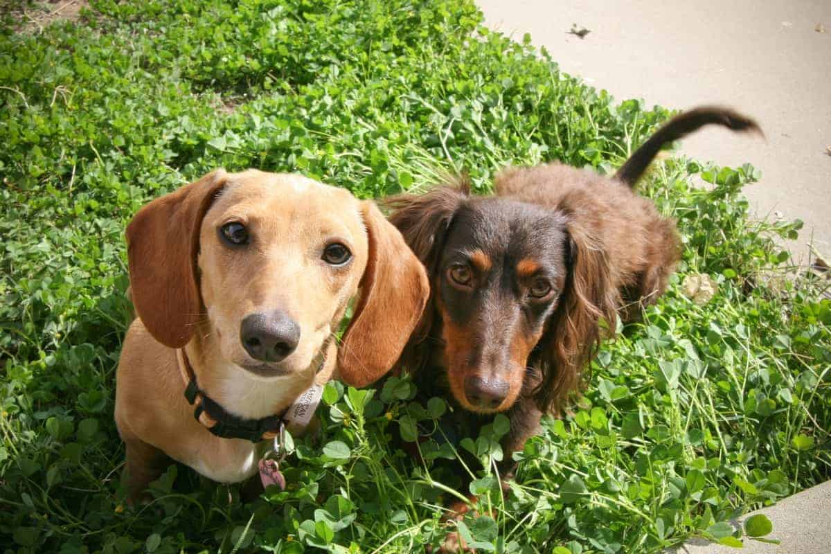 Male and female Dachshund standing on grass