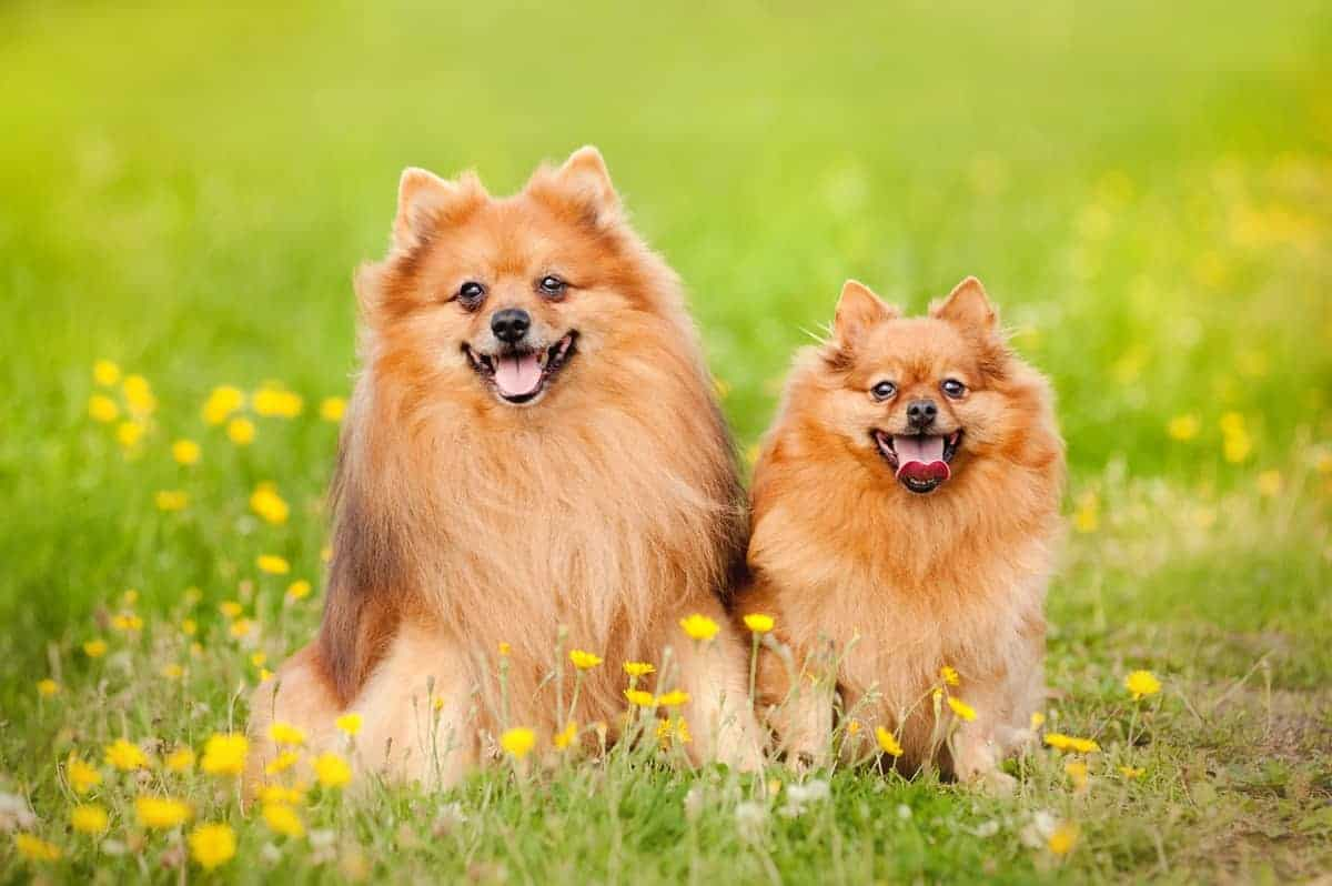 Male and female Pomeranian in summer