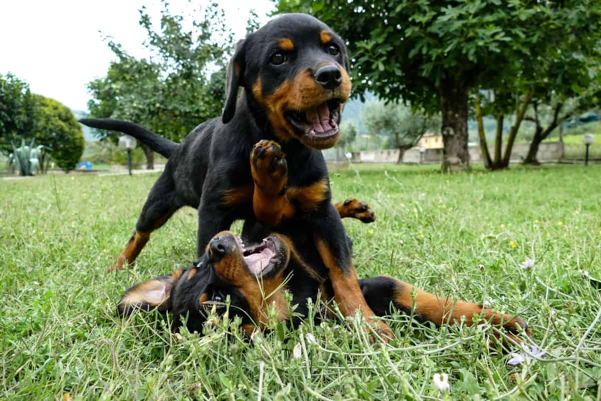 Male and female Rottweiler puppy playing on the grass