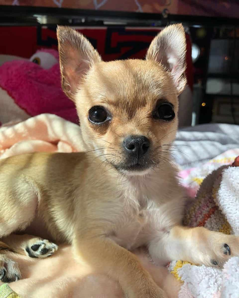 Sable fawn teacup Chihuahua