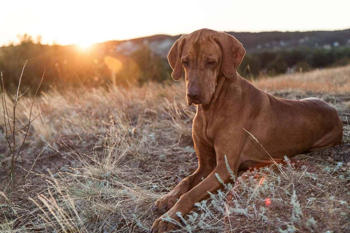Senior Vizsla dog outdoors