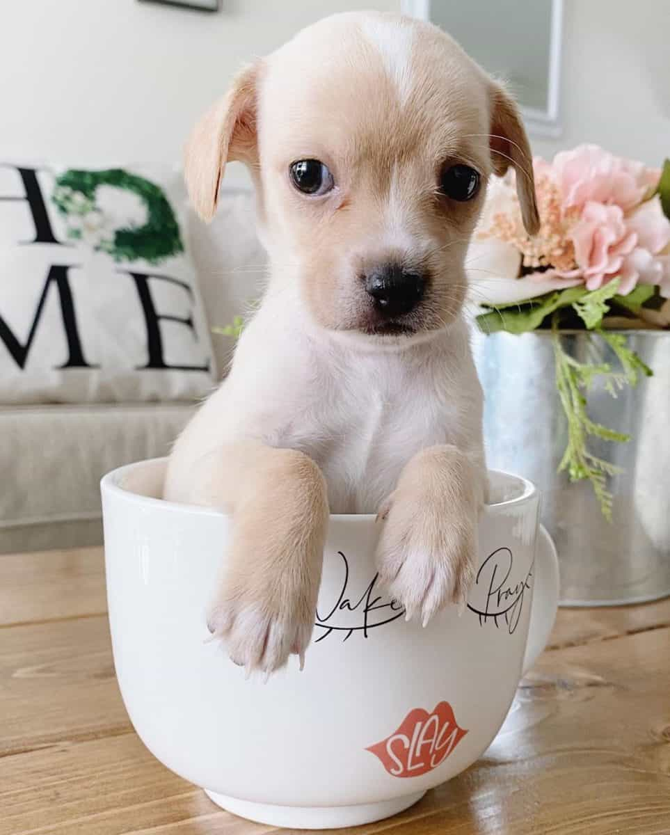 Teacup Chihuahua sitting in a cup_2