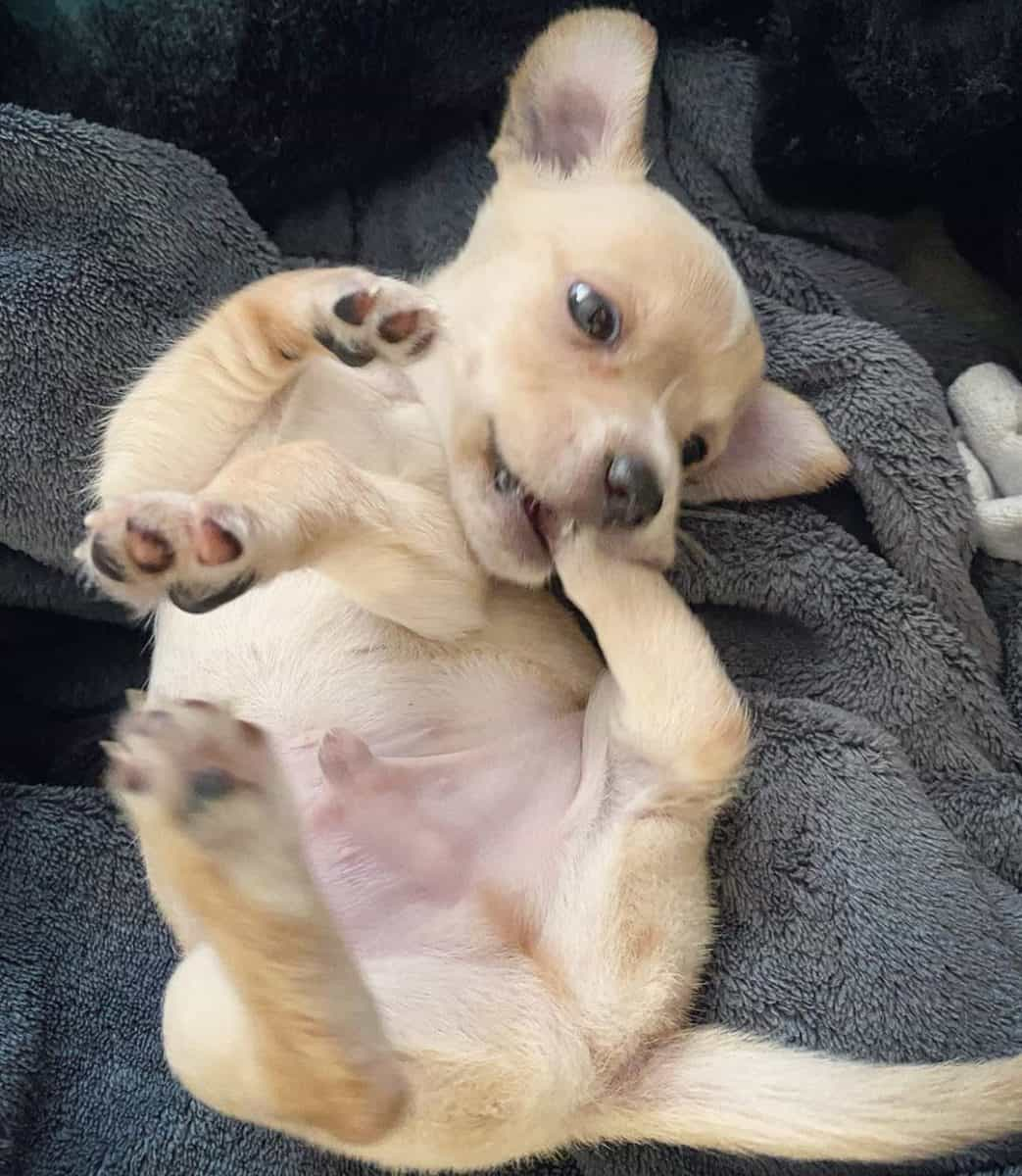 Teacup Chihuahua sleeping on their back