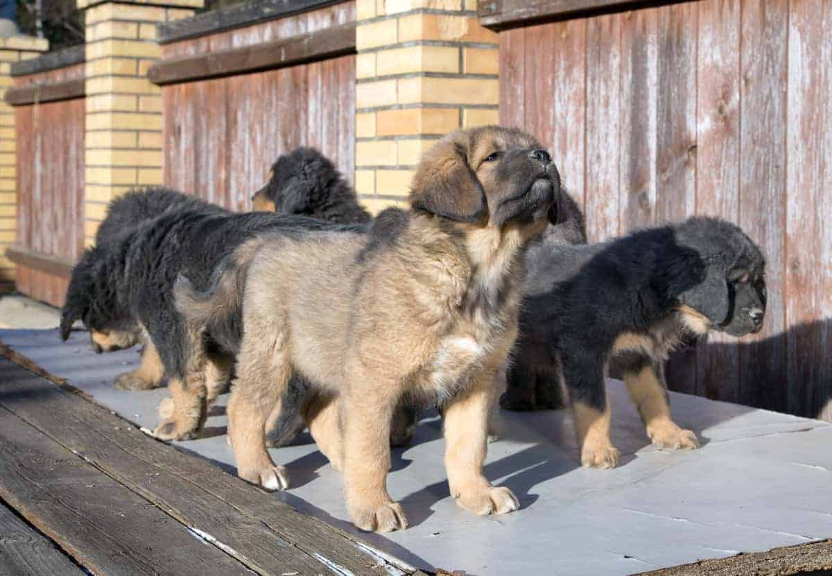 Tibetan Mastiff puppies outdoor