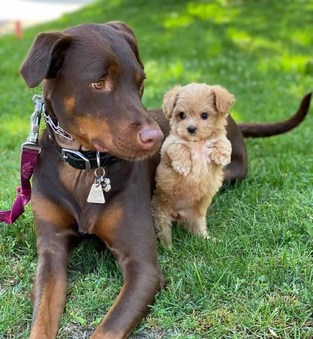 A cute teacup Morkie Poo puppy and a Doberman