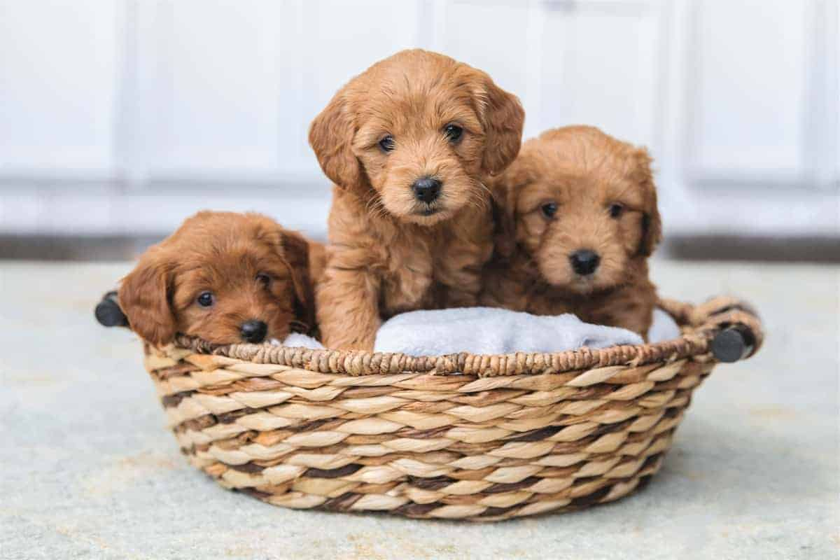 Adorable Litter of Goldendoodle Puppies for Sale