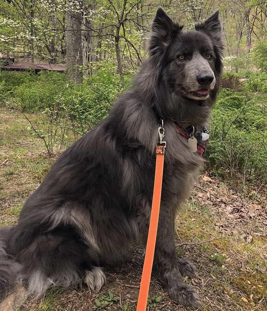 Adult Blue Bay Shepherd