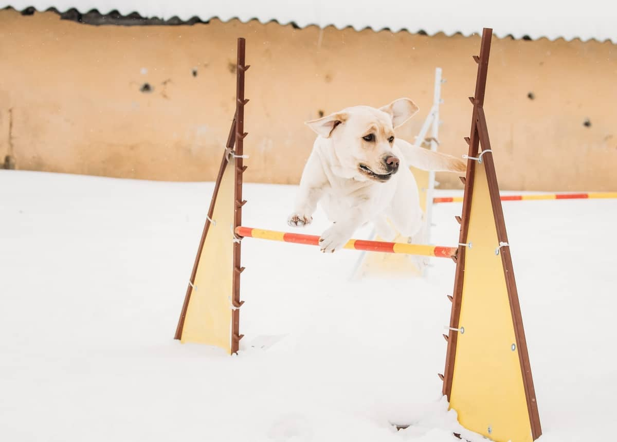 Agility training for a female Labrador Retriever