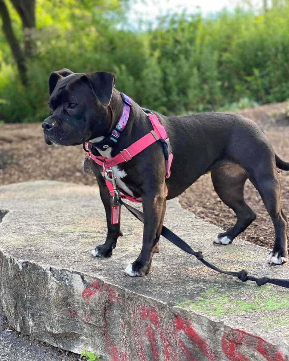 Black Pitbull playing in Lincoln park