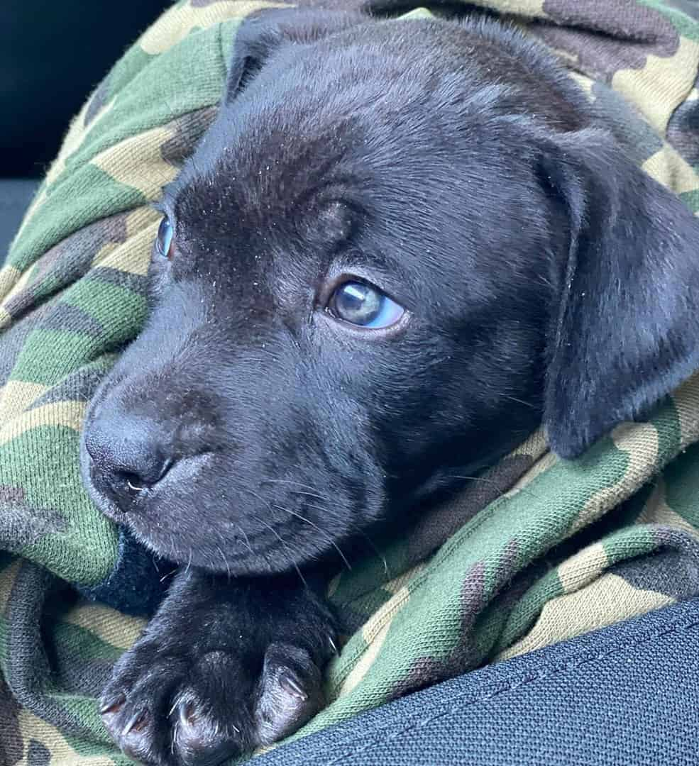 Black Pitbull with blue eyes