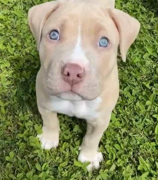 Blonde Pitbull with blue eyes puppy