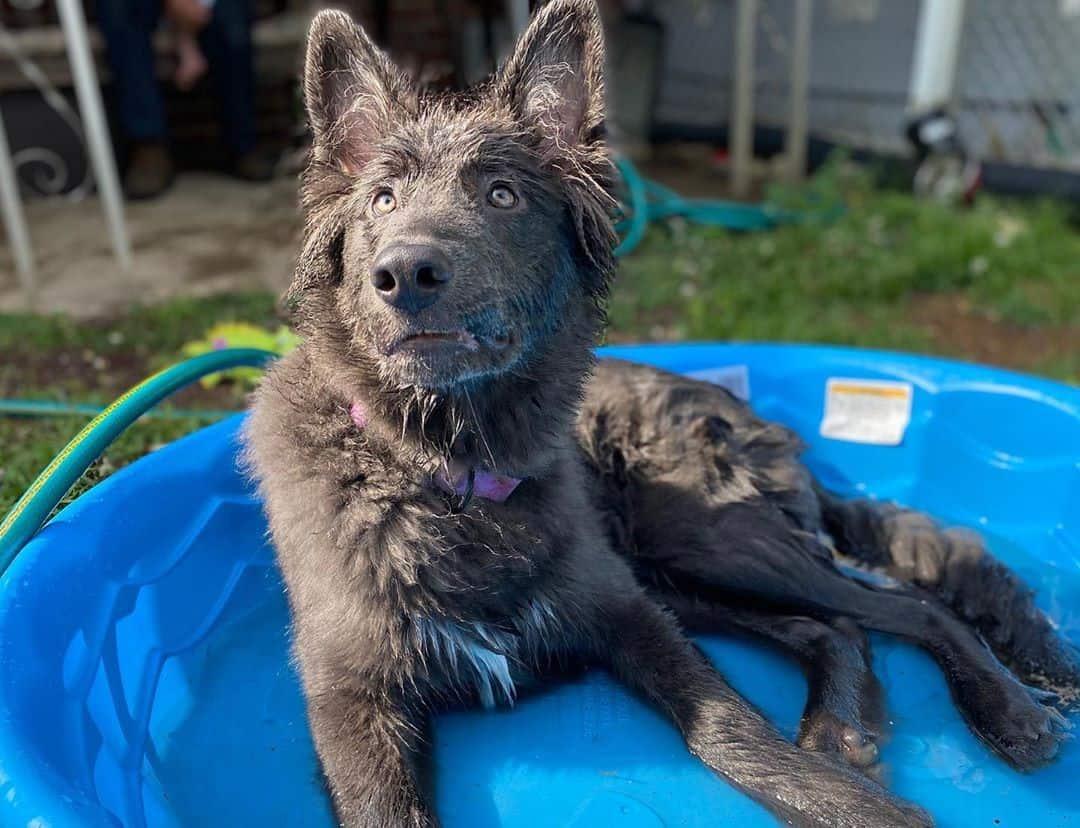 Blue Bay Shepherd having an outdoor bath