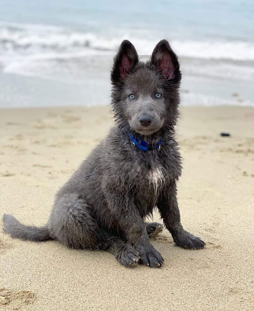 Blue Bay Shepherd puppy on the beach