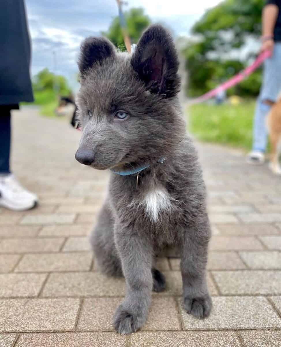 Blue Bay Shepherd puppy walking on leash