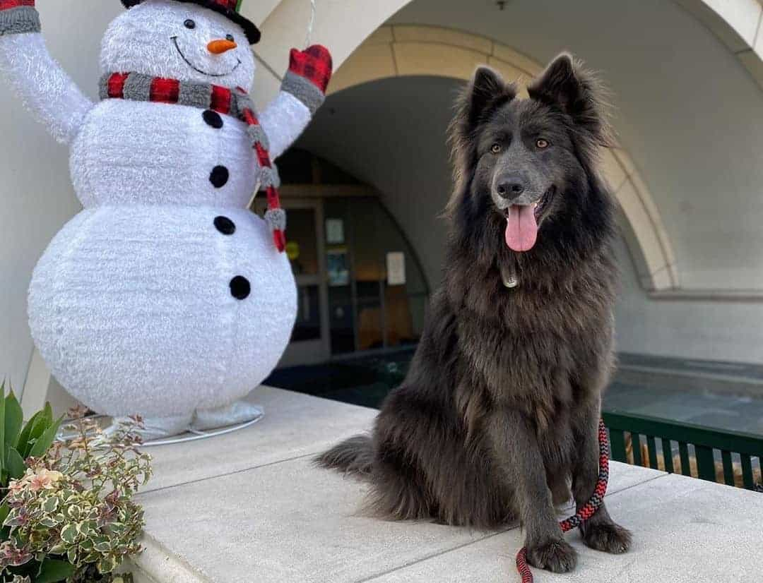 Blue Bay Shepherd with a snowman