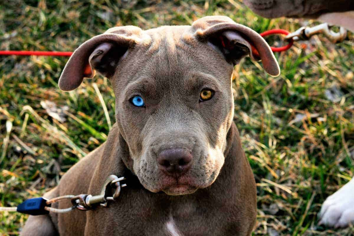 Blue-eyed Pitbull with unique eye color