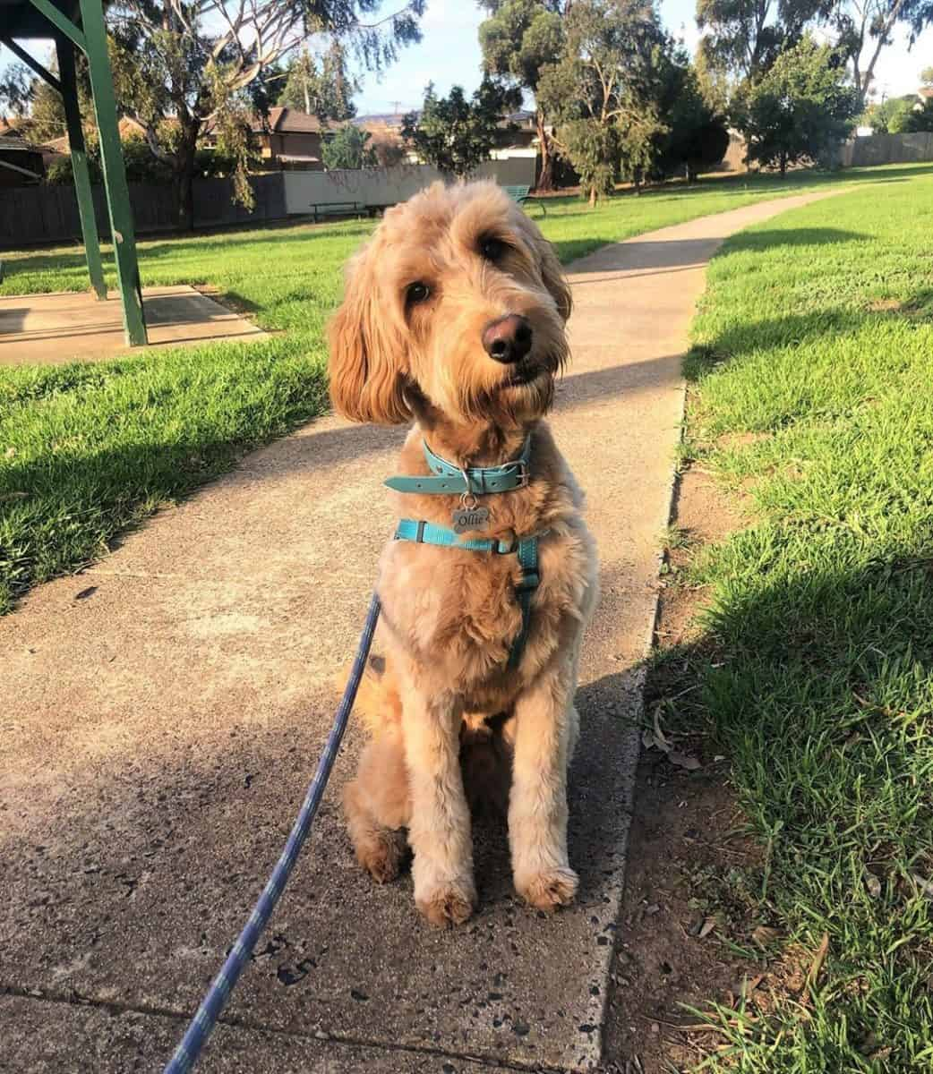 Goldendoodle walking in a park