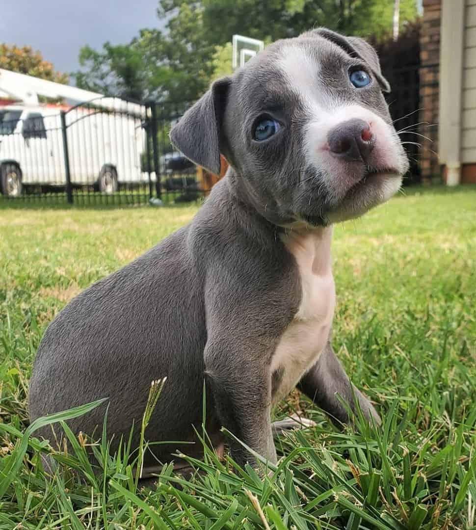 Grey Pitbull with blue eyes