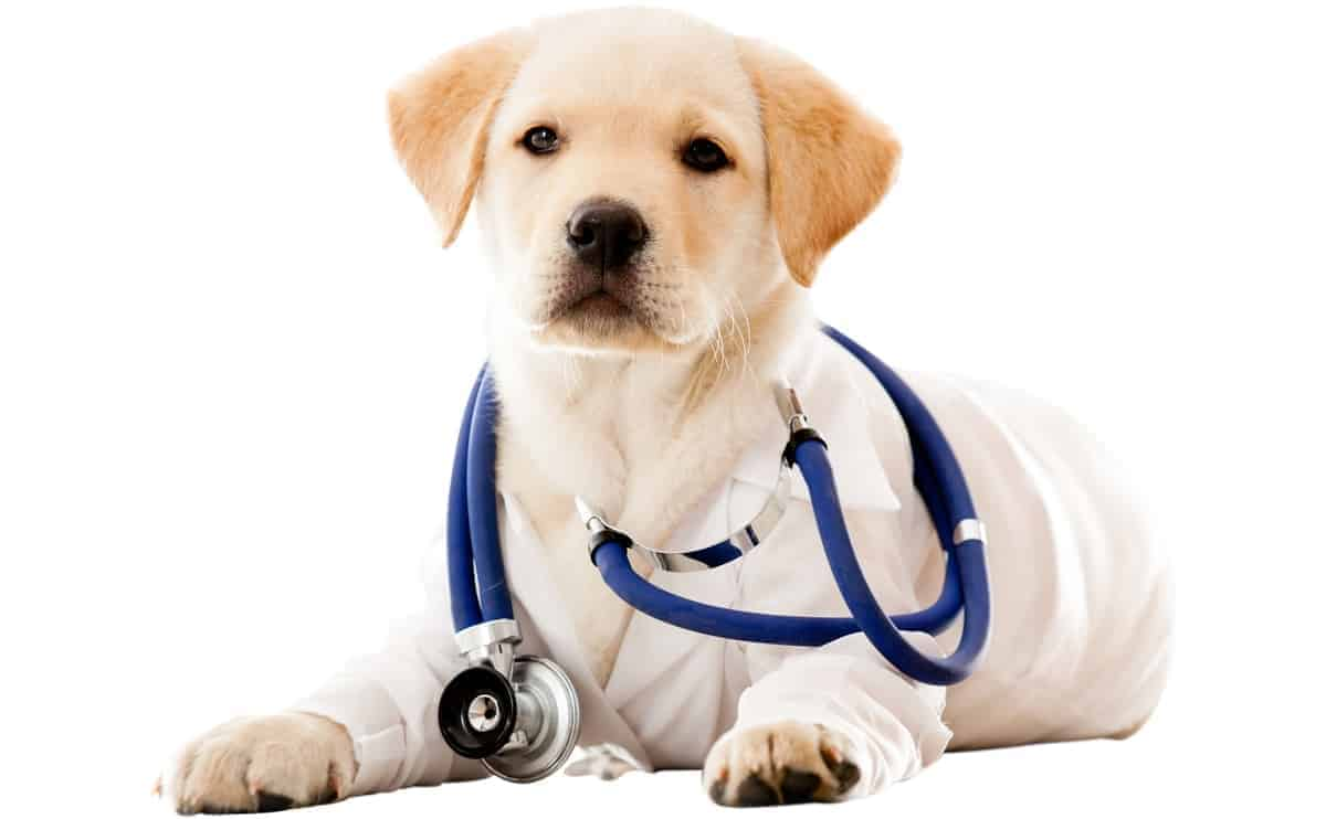 Labrador puppy wearing lab coat