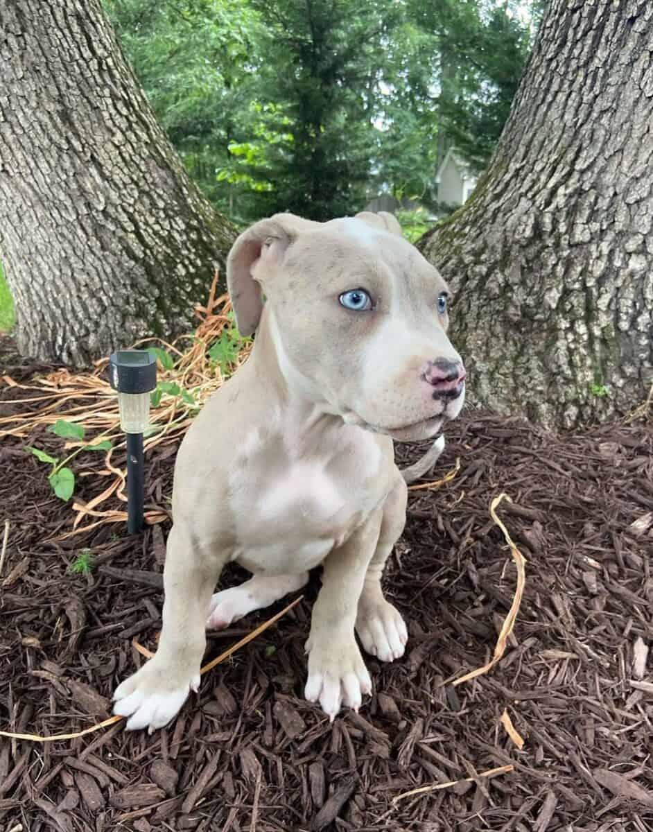 Merle Pitbull with blue eyes