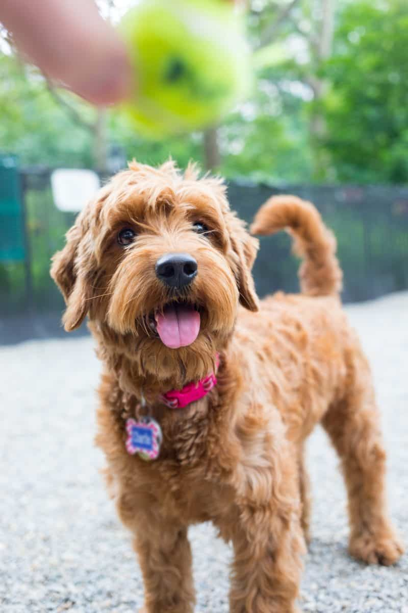 Miniature Goldendoodle ready to play fetch