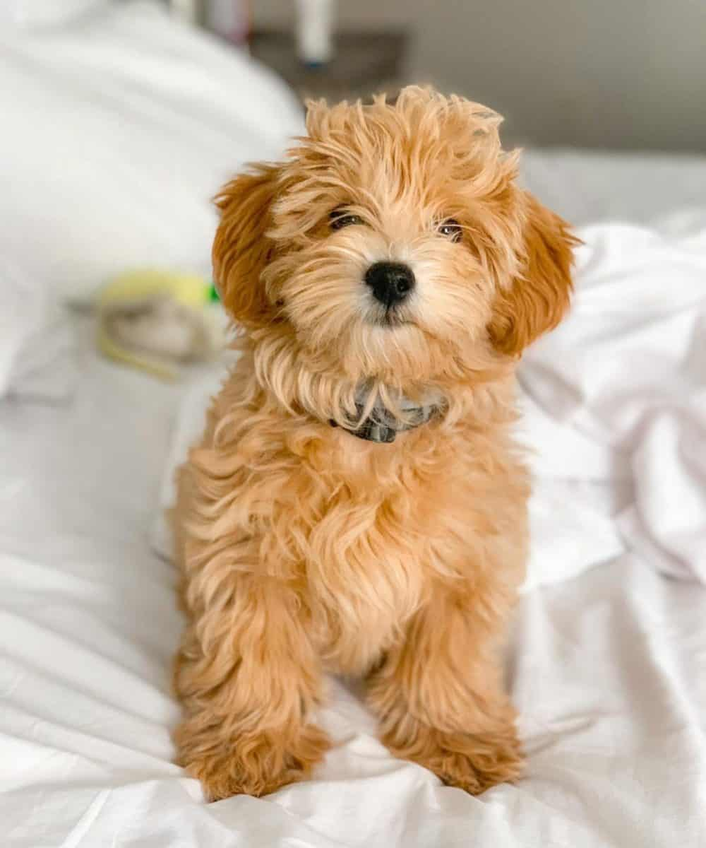 Morkie Poo puppy sitting on bed