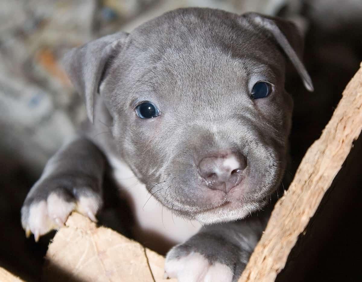Pitbull with blue eyes puppy
