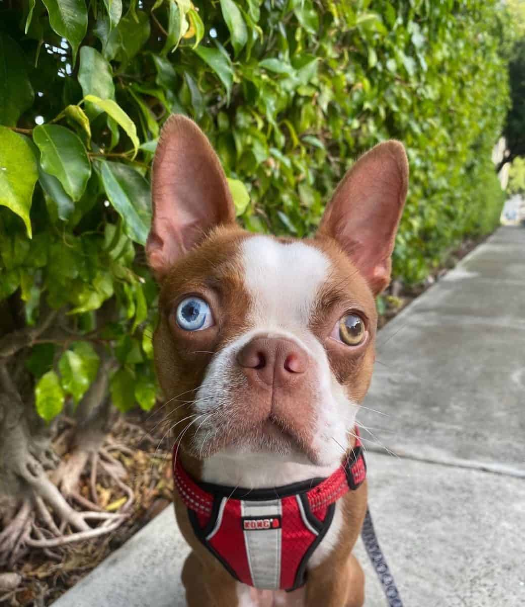 Red Boston Terrier in a park