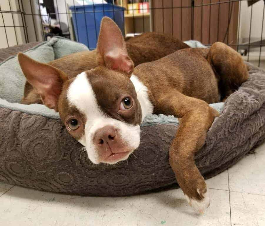 Red Boston Terrier lying on its bed