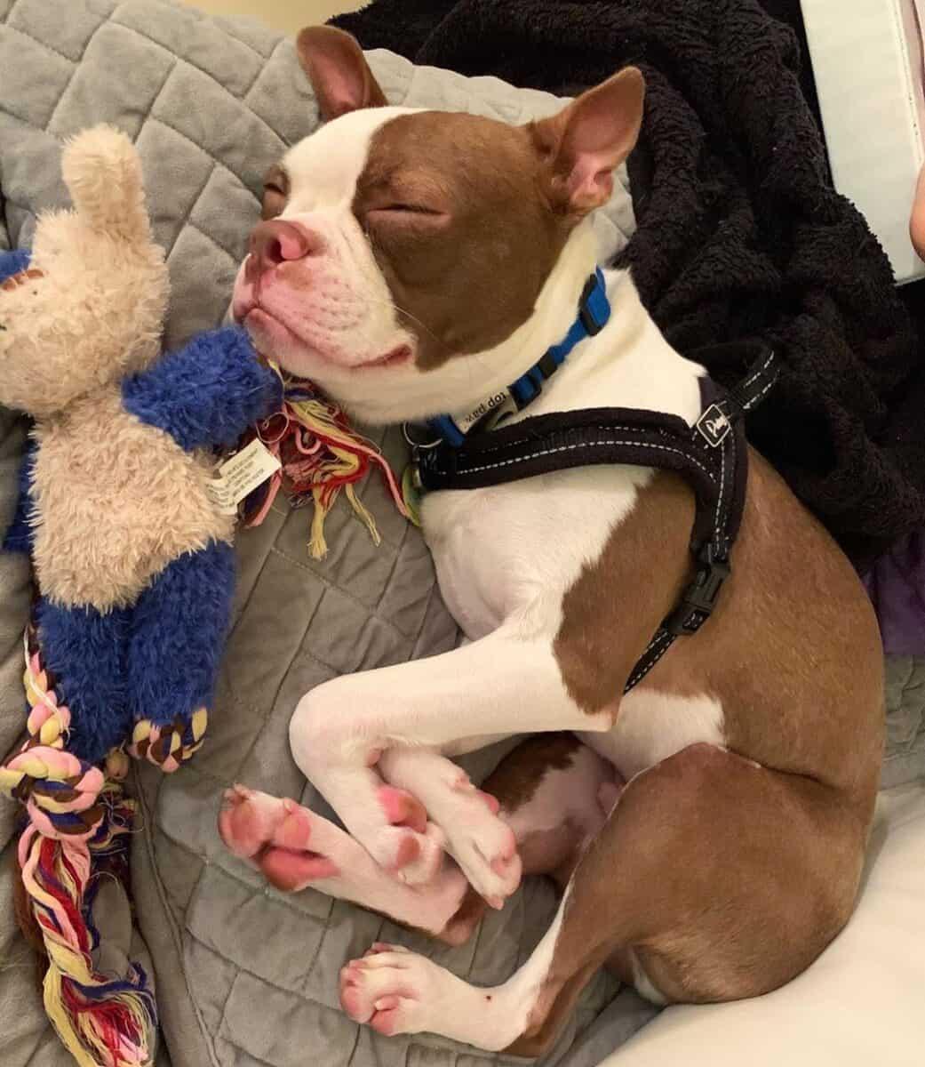 Red Boston Terrier sleeping