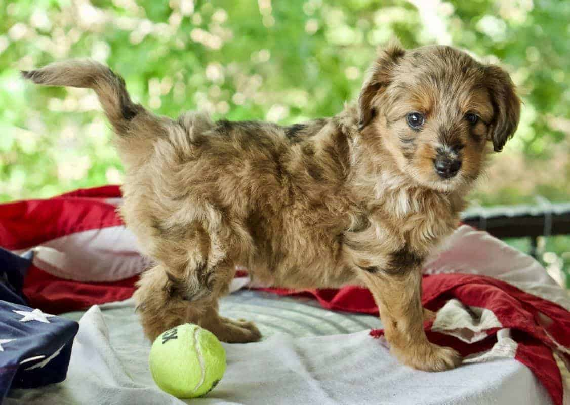 Red blue copper merle Aussiepoo