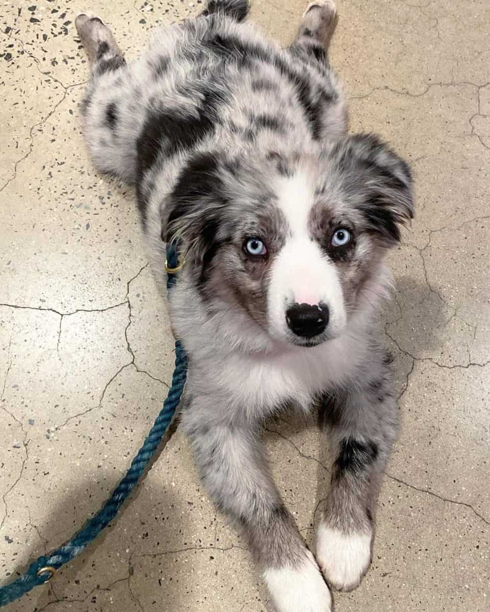Solid blue merle toy aussie lying on the ground