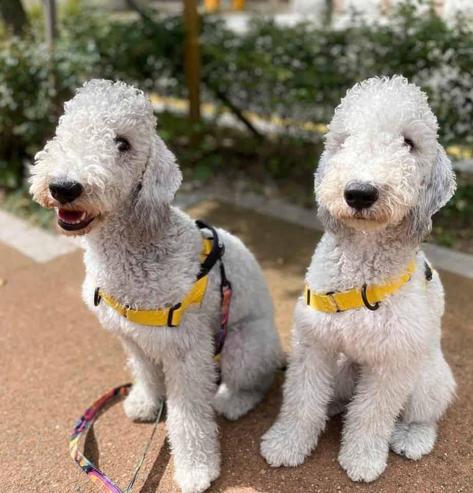 Two Bedlington Terriers walking on leash