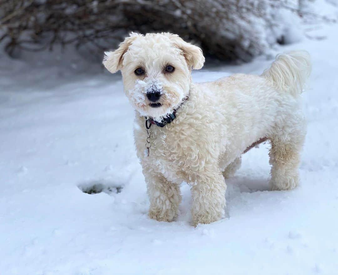 White Morkie Poo in snow