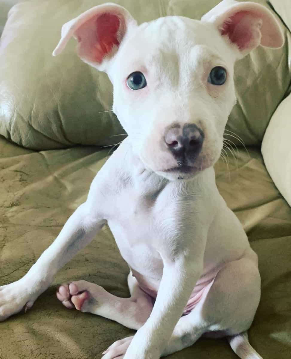 White Pitbull with blue eyes