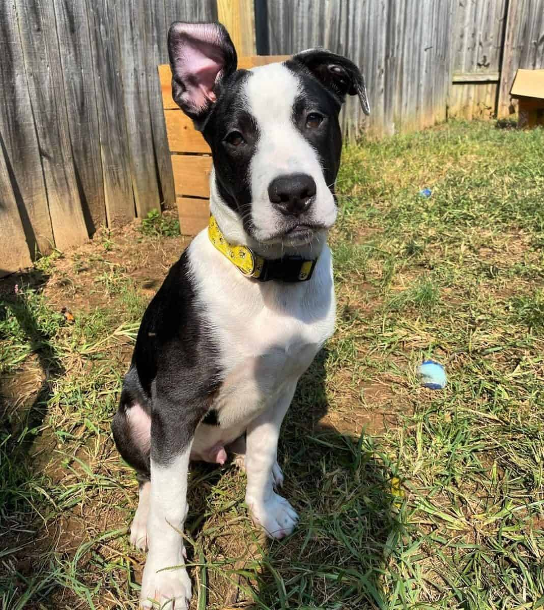 Adult black and white Pitbull in a backyard