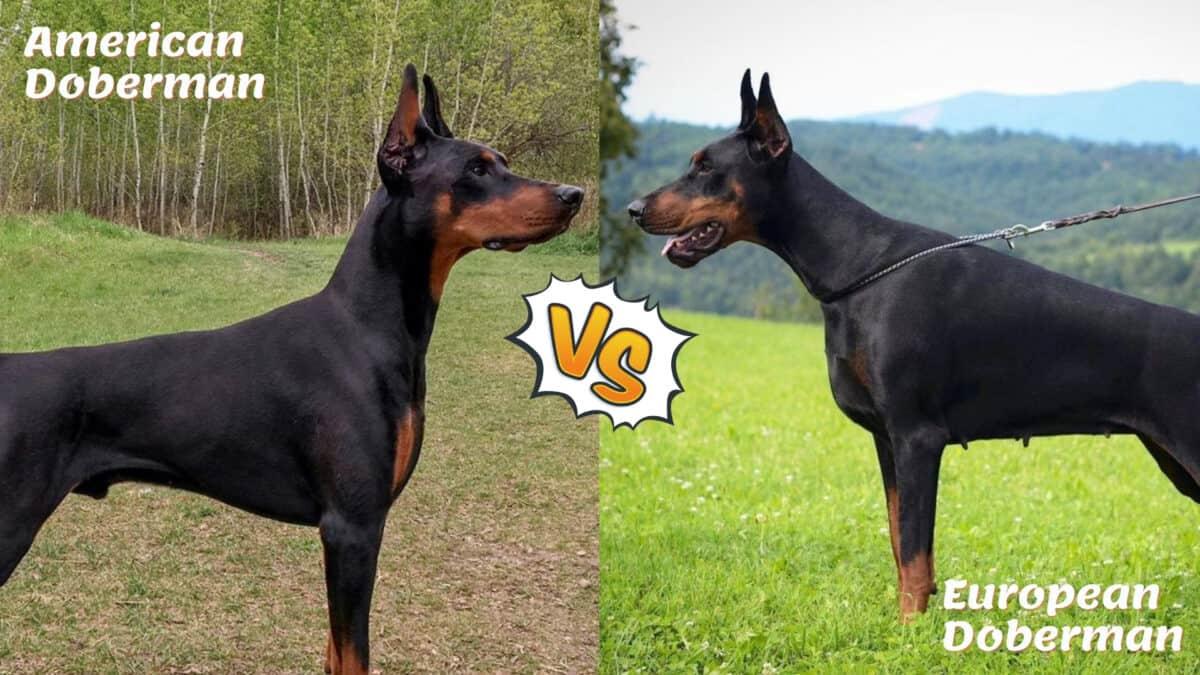 American Doberman vs European Doberman comparison
