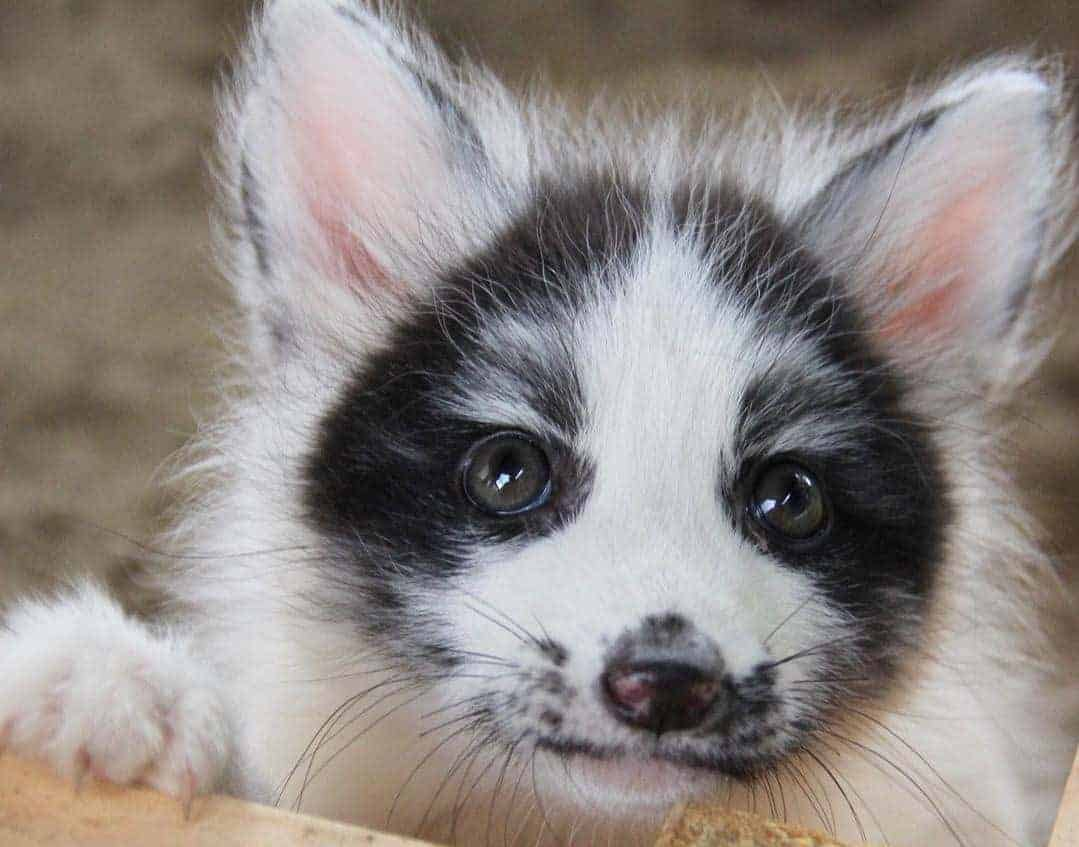 Baby Marble Fox