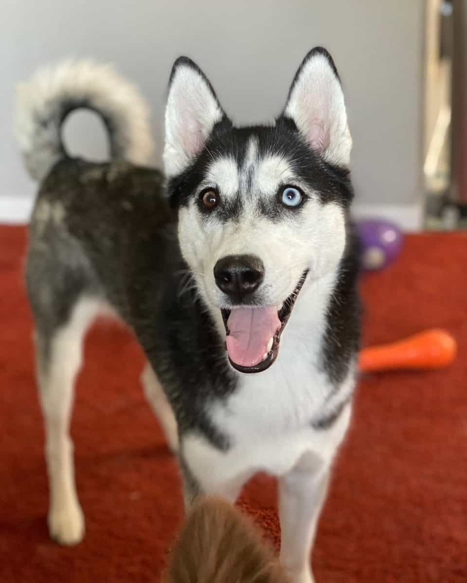 Bi-eyed Husky with brown and blue eyes