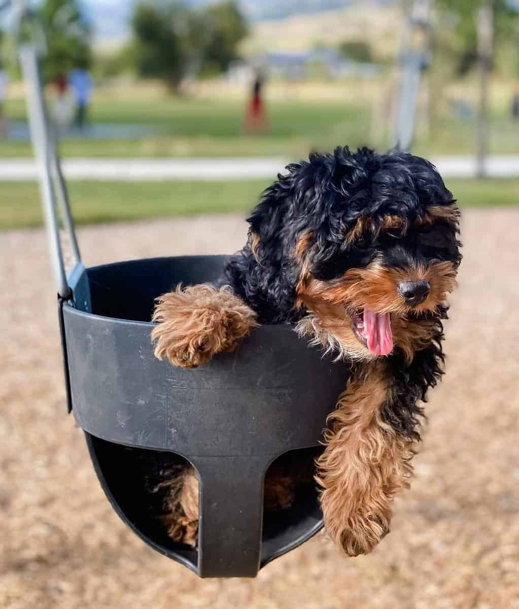 Black and tan Cavoodle