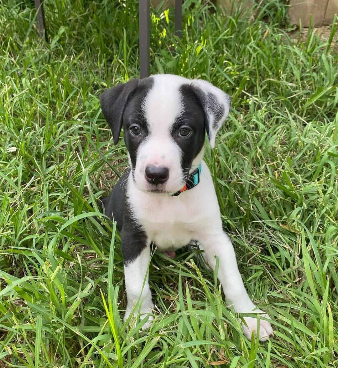 Black and white Pitbull puppy sitting on the grass